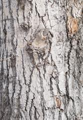 Wall Mural - bark background