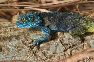 Small and colourful african lizard in the nature habitat