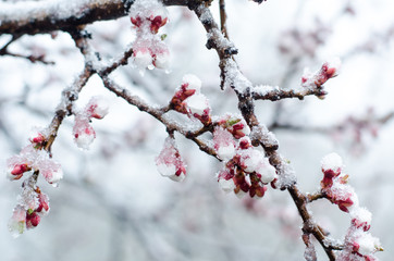 Tender apricot blossom flowers covered with sudden abnormal April snow cyclone