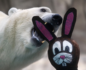 A polar bear bites a mock Easter Bunny stuffed with food at the Buenos Aires Zoo