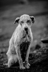 Black and white photo of an abandoned, lost dog