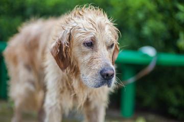 Golden retriever dog that just had a bath
