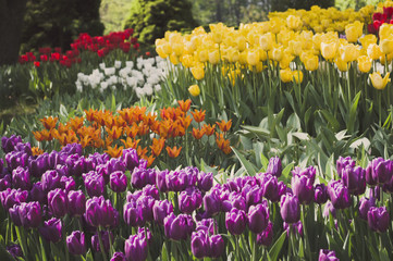 Blooming tulips spring colorful flowerbed background