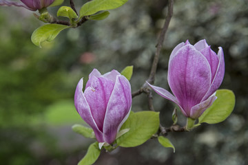 Close Up View Magnolia Soft Pink Blossoms Flowers Shallow Depth of Field Vibrant Flowers Green Leaves, Background Backdrop Use with Text Copy Space Overlay - Spring, Daytime Oregon  (HDR Image)