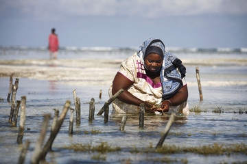 Seaweed farmer Uledi tends her crop in tidal pools on Zanzibar island in Tanzania
