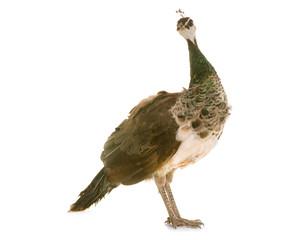 female peacock in studio