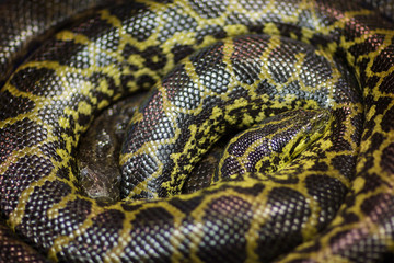 Two Yellow Anacondas (Eunectes Notaeus) are pictured in a terrarium at Berlin zoo