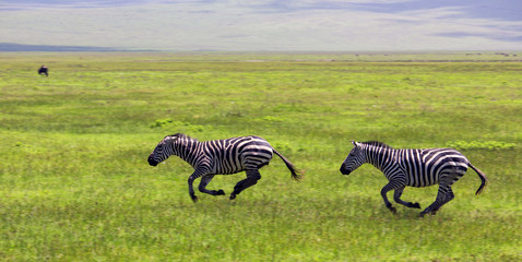 Zebras running, chasing each other