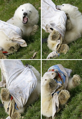 A combination of four pictures shows polar bear cub Flocke (snowflake) playing in her enclosure at the zoo in Nuremberg