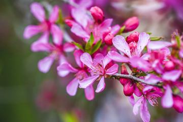 Blooming pink flower almond dwarf in garden, spring time.