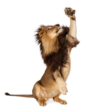 Lion isolated in white background
