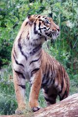Sumatra tiger, profile view
