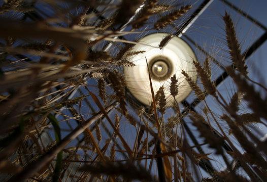 Wheat  grows at greenhouse of wheat breeding program at Nebraska university in Lincoln