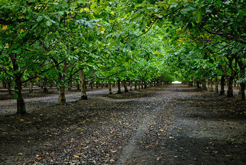 a walnut grove in California