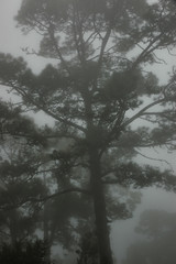 Uneasy, spooky atmosphere in a foggy morning, over an overwhelmingly large black tree
