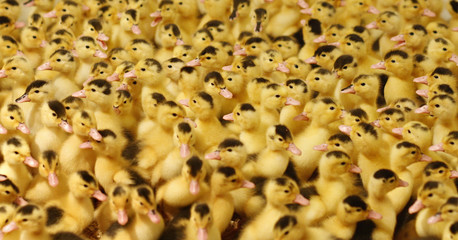 Three day old Mulard ducks are seen inside a barn at the Ferme Basque in St-Urbain