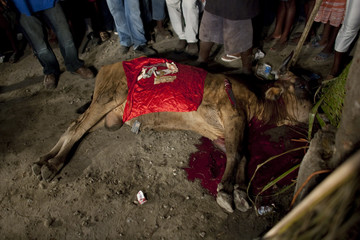 Voodoo believers stand next to a dead cow with money after its sacrifice before sacrifice in a mass ceremony during the Plain Du Nord Festival