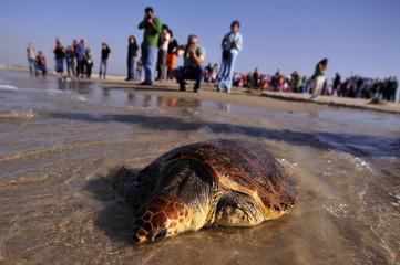 A loggerhead sea turtle named Chompy is released back into the wild at the Beit Yannai beach near Netanya