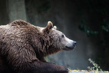 Brown bear, captive. A brown bear male specimen, taken out of profile. Bear lying down, half bust.