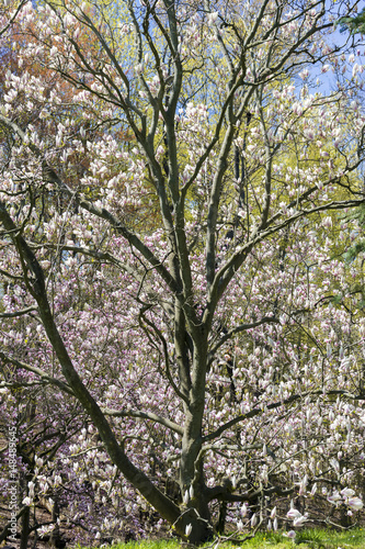 Beautiful flowering tree with dark reaching branches and light pink beautiful flowering tree with dark reaching branches and light pink blossoms mightylinksfo