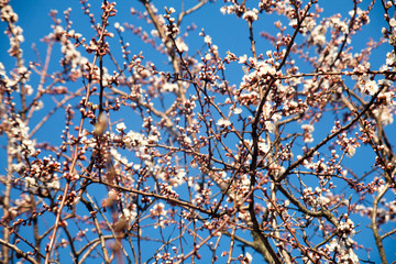Spring. apple Trees in Blossom. flowers of apple. white blooms of blossoming tree close up. Beautiful spring apricot tree with white flowers.