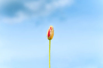 Poppy flower opening bud petal on blue cloudy sky background