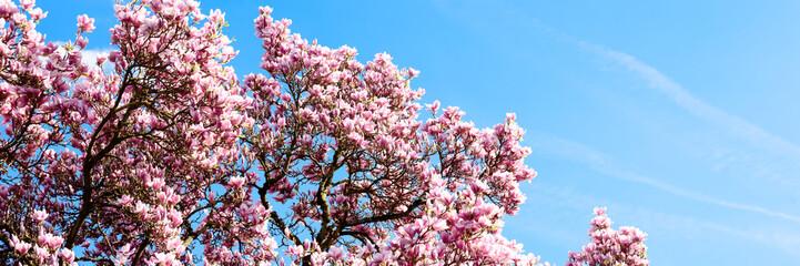 Magnolie vor blauem Himmel - Banner