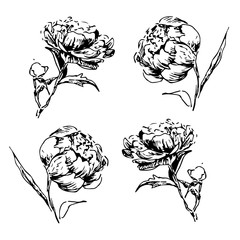 hand drawn monochrom  graphic peony  flower for background, texture, wrapper pattern, .frame or border