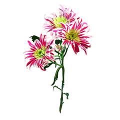 hand drawn chrysanthemum branch flower for background, texture, wrapper pattern, .frame or border