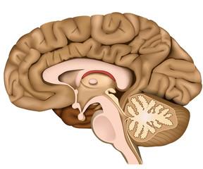 Querschnitt durch das menschliche Gehirn, 3d vektor illustration