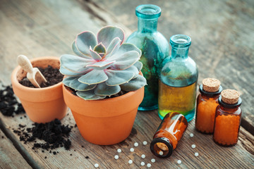 Echeveria in flowerpot and homeopathic remedies for plant and crops. Natural alternative treatment of plant diseases.
