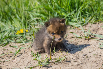 Baby fox in the green grass