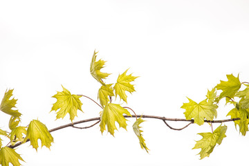 Branch with green fresh leaves of the maple, isolated on a white background.