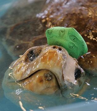A loggerhead sea turtle named Nick floats in his rehab pool at the Georgia Sea Turtle Center on Jekyll Island