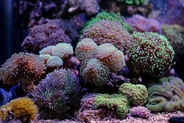 Euphyllia lps garden corals