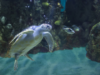 Underwater shot of green sea turtle