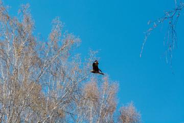 hawk in the sky. a bird in flight.