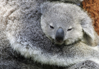 """Adult female koala named """"Tara"""" holds her seven-month-old joey in an eucaplyptus tree at an animal park in Sydney"""