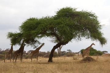 A Group of Giraffes Under an Acacia Tree