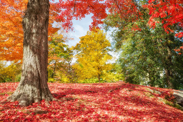 Tuinposter Baksteen Colorful autumn trees at a park in New England. Maple tree leaves forming a beautiful red blanket.