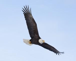 Bald eagle flying over the bay in Homer, Alaska