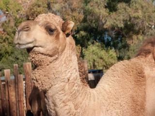 Head shot of Dromedary Camel
