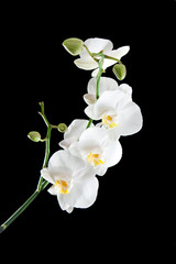 White orchids on the black background