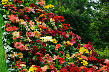 Various species of chrysanthemum flowers planted and grows in the Floria Garden in Putrajaya, Malaysia.
