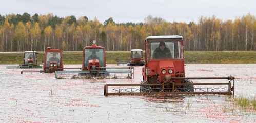 Workers drive machines that harvest cranberries at a state farm in the village of Selishche