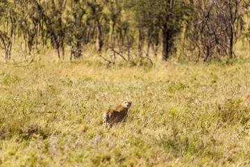 Cheetah in the long grass