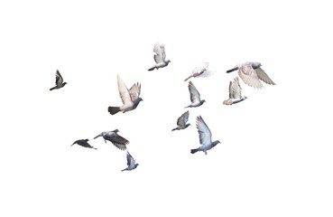 group of pigeon flying isolated for dicutClipping inside Wall mural