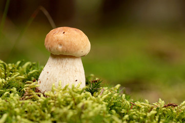 Boletus in moss in forest