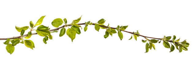 Branch of an apple tree with young green leaves. Isolated on white background