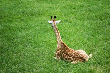 A baby giraffe sitting on the green grass